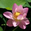 ひょうたん池のハスの花