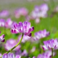 レンゲ(ゲンゲ)の花