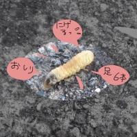 この虫、何の幼虫?(苦手な方注意)
