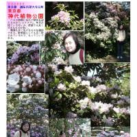 花巡り 「石楠花-3」 神代植物公園