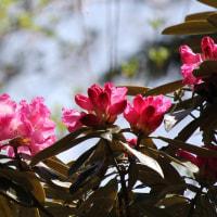 山岳点景:山神簪―Rhododendron 石楠花