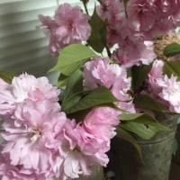 八重桜と「いちごショート」と「抹茶ババロア」