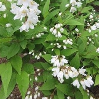 毛虫 ・ 卯の花