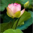 万博公園/日本庭園ハスの咲き始め