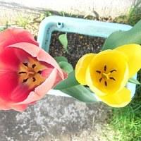 チューリップ咲いたよ。
