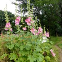 タチアオイの咲く季節へ2017年6月・・
