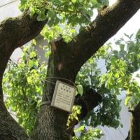 杏  大きな区の保存樹