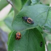 生物農薬、てんとう虫のヤゴ