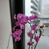 二度咲きの胡蝶蘭