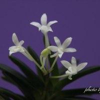 富貴蘭 旭翠の花