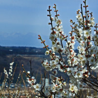 3月17日  残雪の山並みに白梅
