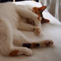 三毛猫って短命なのですか。リリ一年八カ月、永眠。十八年生き続けているブラッキー。 麻屋与志夫
