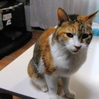 鳴き通しの猫