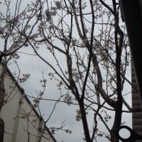 サクランボは花盛り!