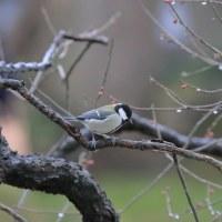 ●兼六園で鳥(モズ、ジョウビタキ、シジュウカラ、スズメ、カルガモ) 紅梅、白梅が開花 雪吊り