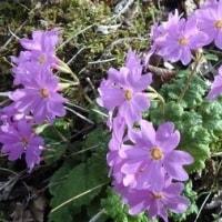 球磨地方の山歩きで楽しむイワザクラとカタクリの花