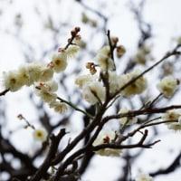 梅の開花大阪城
