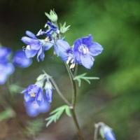 エゾツリシノブ  季節の山野草