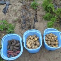 ジャガイモの試し掘り
