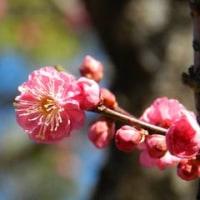 昭和記念公園(梅の花)