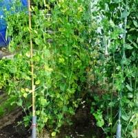 春野菜(1) 収穫