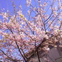 桜ほころぶ?