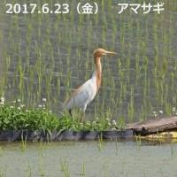 アマサギ(夏鳥)