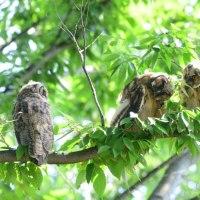トラフズクの幼鳥は、3羽いた。