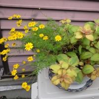 庭の植物たち・・いつもの年とは違う様子など