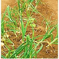 傾倒化 玉ネギ の 収穫 - 2