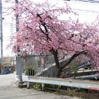 京都梅津!有栖川に咲く【陽光桜】開花状況第二弾