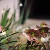 ●我が家の3月の花(11)カタクリ スノーフレーク 福寿草 ムラサキハナナ ミニ水仙