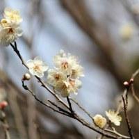 さいたま市緑区の農業者トレーニングセンターの園芸植物園では、ウメの花が咲き始めました