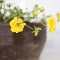 「おはようの花」 八重咲きキジムシロ