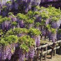 …藤棚と牡丹をめぐる近江・愛知2…