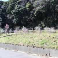小さな梅園(地元三十川地区)