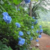 「南沢あじさい山」武蔵五日市(あきる野市)