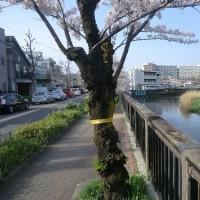 桜は満開です