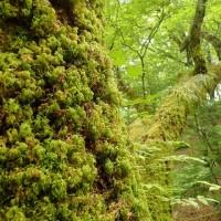 ミズナラの巨木に登ってみました。トラノオゴケの向こうにミヤマノキシノブがびっしりとついていました。