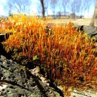 メモ帳706ページ目 芽吹き頃、植物の新芽が膨らんでいます