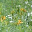 長野県小諸市の北側にある高峰高原では、ゼンテイカがいくらか咲き始めました
