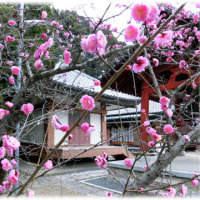 梅一輪 一輪ほどの…(^^♪安岡寺の「青梅観音堂」をバックに綺麗に咲いている梅の花です。