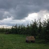 オーガニックのりんご狩り