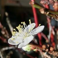 工房内の梅が咲きました