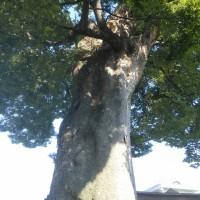 ん!けやきの大樹