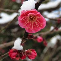 雪の梅林 寒紅梅咲いて