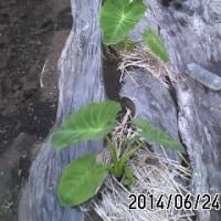 里芋が育ってきました。