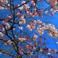 『花模様』 枝垂れ桜