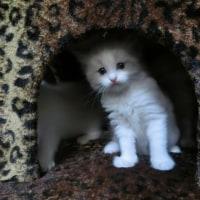 3月17日生まれのラグドールの子猫達🎶