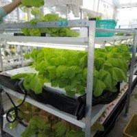 水耕栽培で大型葉菜